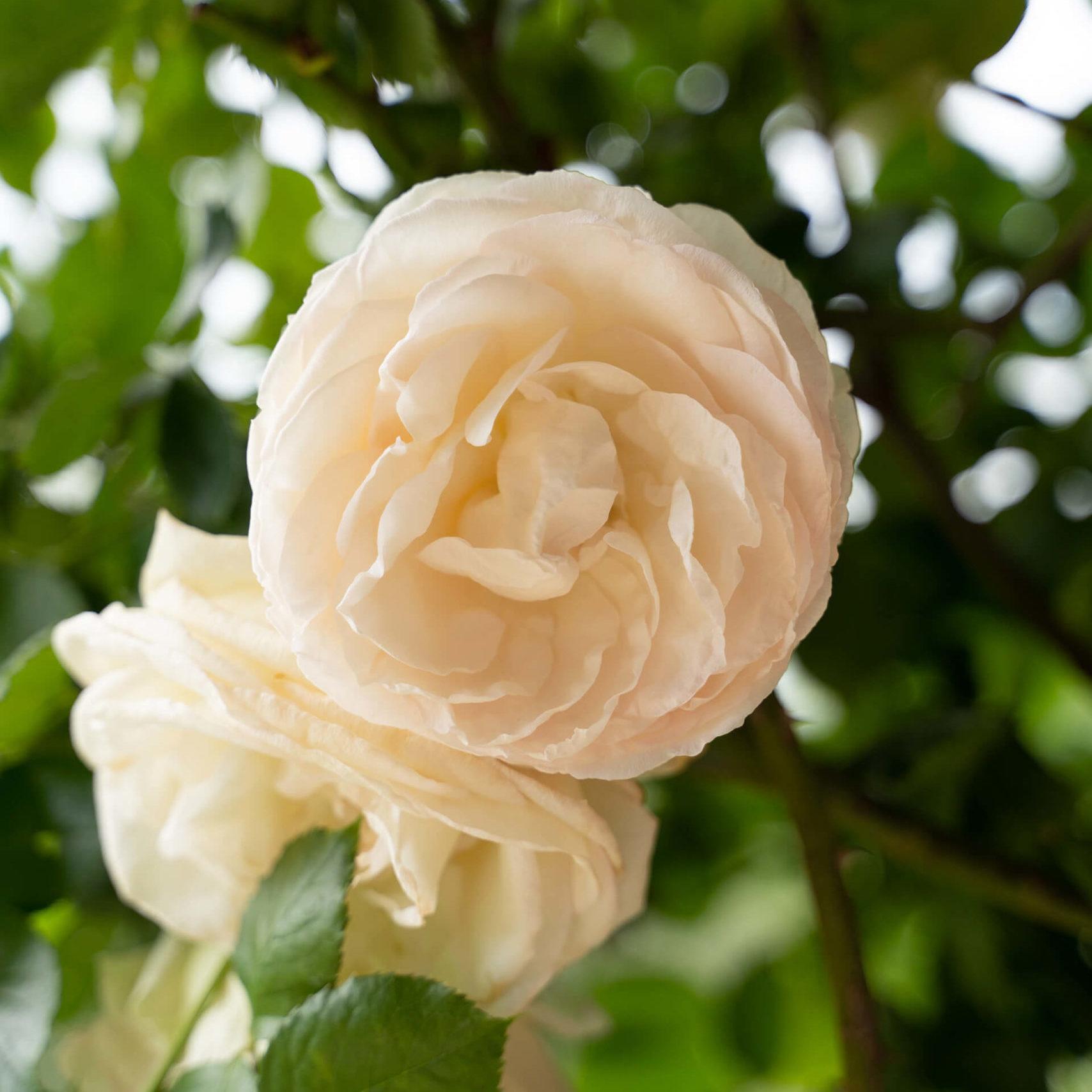 Agri Segretum Rose